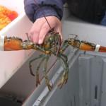 Cape Breton Lobster