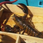 Cape Breton Lobster, Fresh from the East Coast