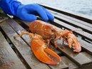 veronica orange lobster