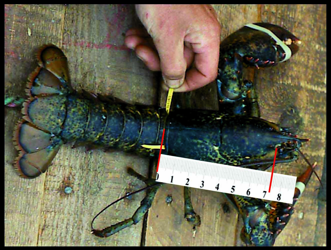 Tagged lobster