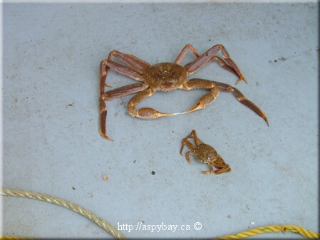 A male crab (large one) with a female. The female is full size (from Aspybay.ca)