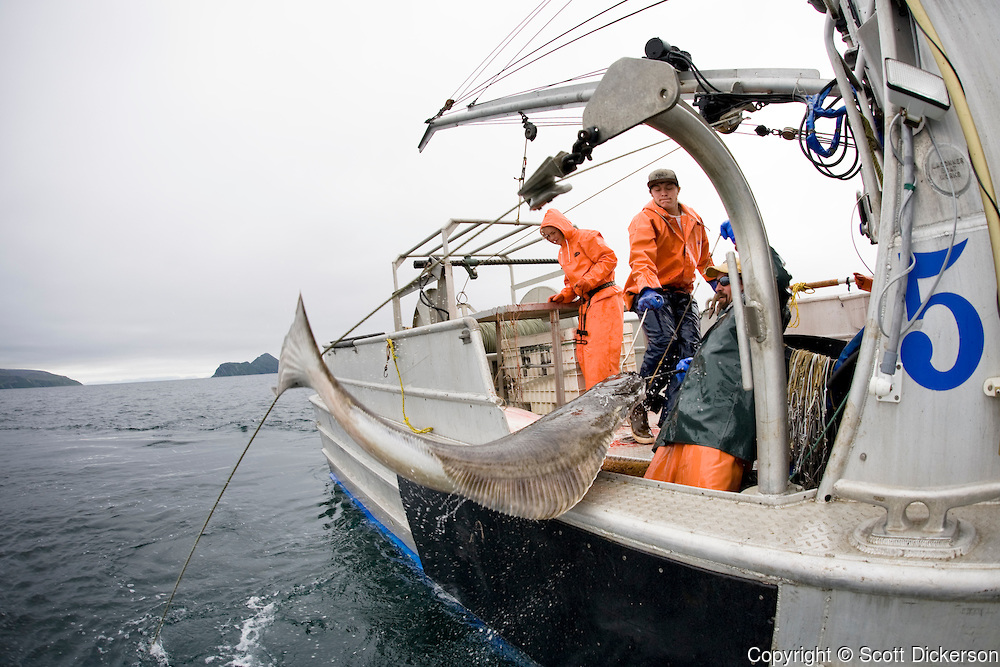 Keith Bell and Buck Laukitis pull aboard a pacific halibut while commercial longline fishing in the Aleutian Islands, Alaska.